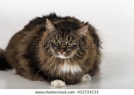 Curious and Angry Dark Cat Sitting on the white table. Portrait. White background.