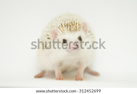 curious and cute young beautiful rodent african pygmy hedgehog baby in white background