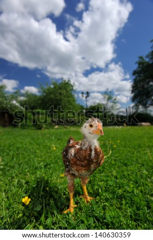 Curious Baby Chicken on Green Lawn - stock photo