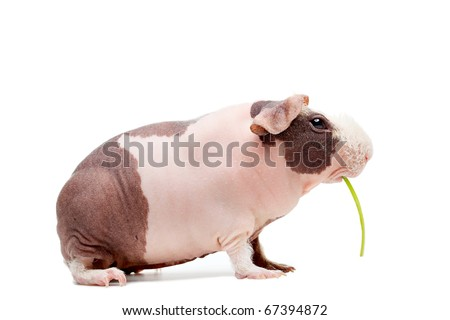 Curious bald guinea pig eating grass over white background