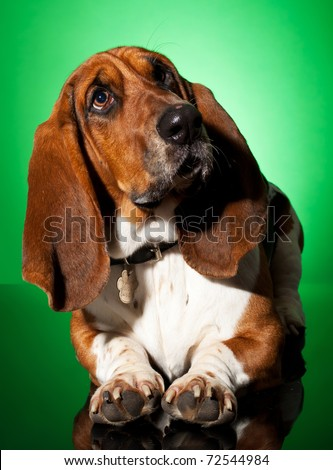 curious basset dog, seated on a green background - stock photo