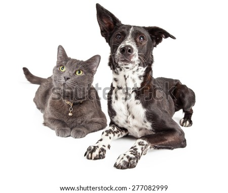 Curious black and white Dog and Cat Laying together on a white background  - stock photo