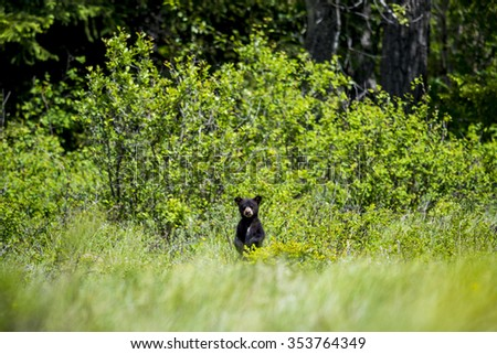 Curious black bear cub standing in tall grass, Waterton National Park Alberta Canada - stock photo