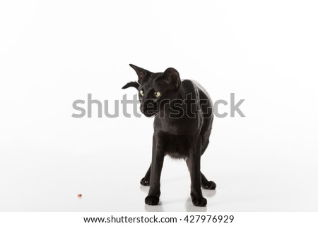 Curious Black Oriental Shorthair Cat Sitting on White Table with Reflection. White Background. Looking Down. Food on the Ground. - stock photo