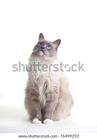 Curious blue colored eyes ragdoll cat over white backdrop