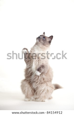 Curious blue colored eyes ragdoll cat over white backdrop - stock photo