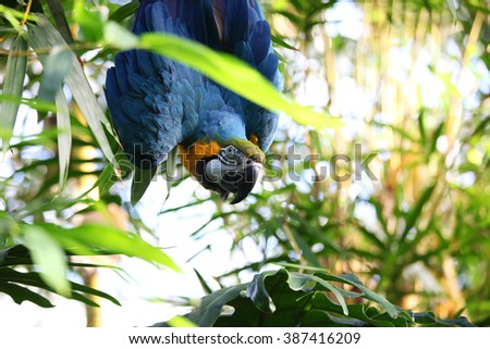 Curious blue macaw