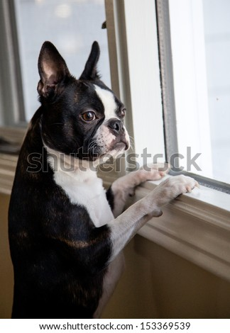 Curious Boston Terrier - stock photo