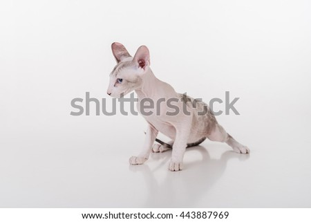 Curious Bright Very Young Peterbald Sphynx Cat Sitting on the white table with reflection