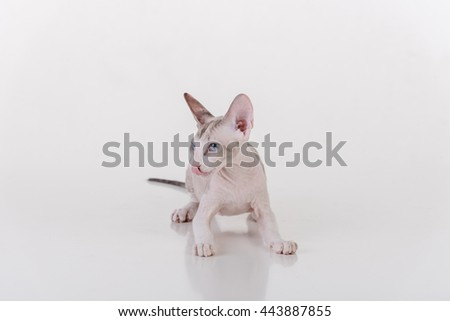 Curious Bright Very Young Peterbald Sphynx Cat Standing on the white table with reflection. Tongue Out