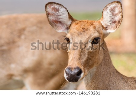 Curious brow-antlered deer on the edge of a forest in spring. - stock photo