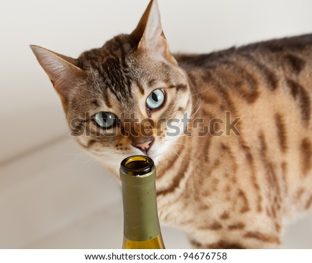 Curious brown bengal cat sniffing at an open wine bottle - stock photo