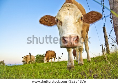 curious brown cow - stock photo