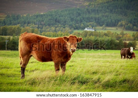 Curious brown cow in a meadow looking at the camera - stock photo