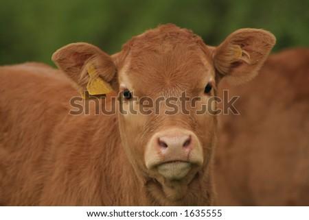 Curious calf - stock photo