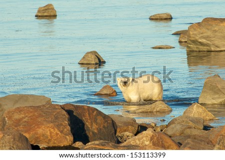 Curious Canadian Polar Bear wading through the cold waters of the Hudson Bay near Churchill, Manitoba, in summer - stock photo