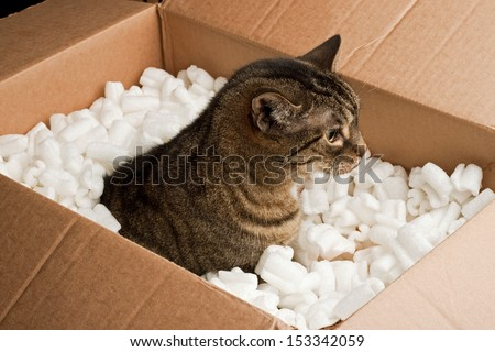 Curious cat in cardboard box of packing peanuts