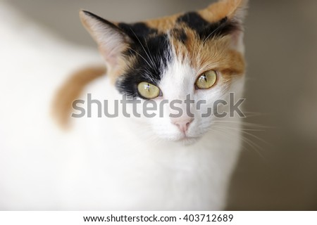 Curious cat  is a closeup image of a Calico cat with magnetic green eyes - stock photo