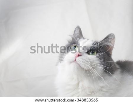 curious cat looking up, studio shot - stock photo