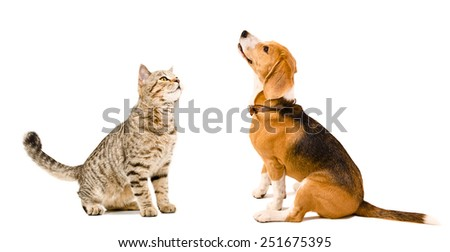 Curious cat Scottish Straight and beagle dog sitting together isolated on white background - stock photo