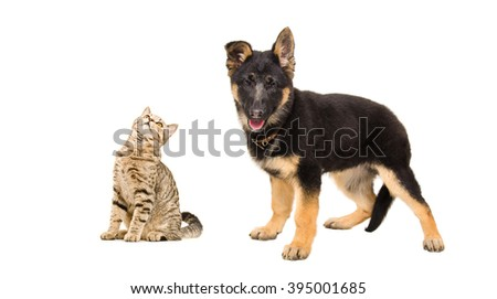 Curious cat Scottish Straight and German Shepherd puppy isolated on white background  - stock photo