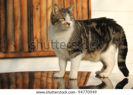 Curious cat standing on a reflecting engine hood - stock photo
