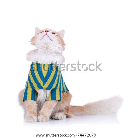 curious cat wearing clothes and looking up, on white background - stock photo