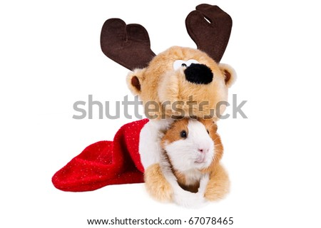 curious cavy hiding in a christmas stocking - stock photo
