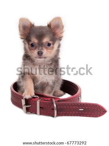Curious chihuahua puppy is sitting into a huge collar, isolated - stock photo