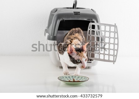 Curious Cornish Rex Cat Going out of the box on the White table with Reflection and eat food. White Wall Background. - stock photo