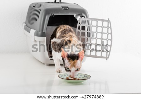 Curious Cornish Rex Cat Looking out of the box on the White table with Reflection and looking into food plate. White Wall Background. - stock photo