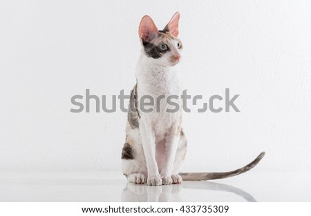 Curious Cornish Rex Cat Stand on the White Table. White Wall Background. Long Tail. Reflection