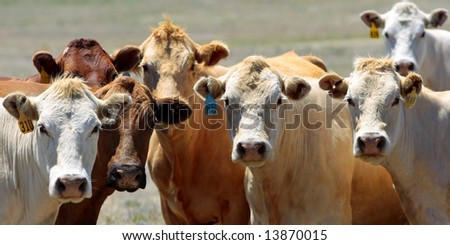 Curious Country Cows – A close-up of the heads of a group of cows hanging out together in the country (wide format - shallow focus). - stock photo