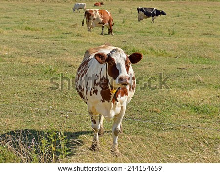 Curious cow - stock photo