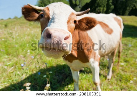 Curious cow in the meadow (focus on the nose) - stock photo