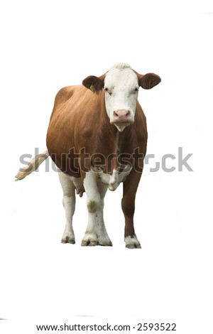 curious cow-isolated - stock photo