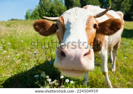 Curious cow on the meadow in summer sunny day  - stock photo