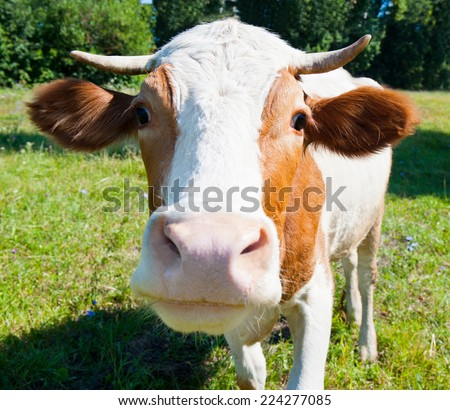 Curious cow on the meadow in summer sunny day (close up) - stock photo