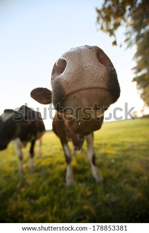 Curious cow sticking it's nose right up to the lens. - stock photo