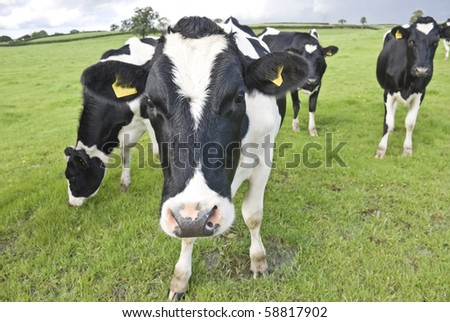 Curious cow. Waltshire farm, UK. - stock photo