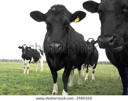 curious cows in field - stock photo
