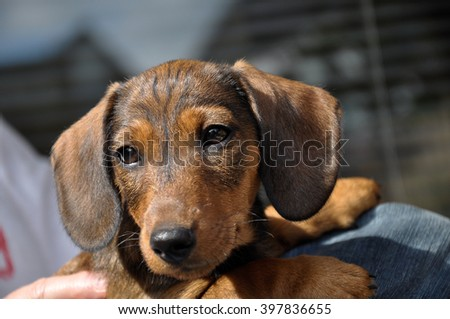 Curious Dachshund puppy, ready for a bright future.