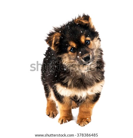 curious dog in the snow.  A beautiful dark puppy dog, isolated on white background - stock photo