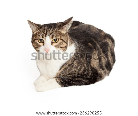 Curious Domestic Short-hair Tabby Cat laying while looking directly into the camera. Legs are outstretched in front of cat.  - stock photo