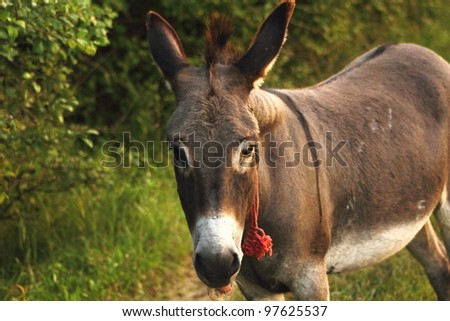 curious donkey with red rope looking at the camera near  the flock of sheep - stock photo