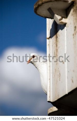 Curious dove - stock photo