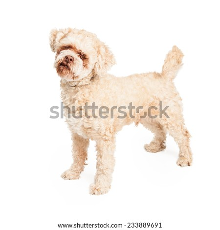Curious elderly Poodle Mix Breed Dog standing.  - stock photo