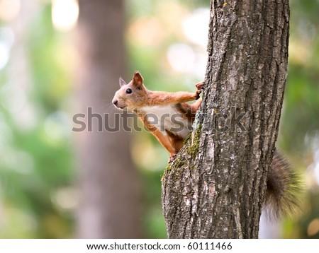 Curious European squirrel. - stock photo