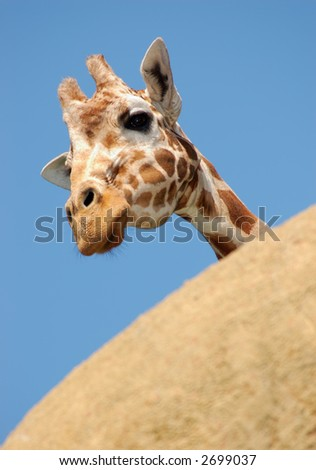 Curious giraffe is peeking from behind a rock, curious to see the what's going on in the world. - stock photo