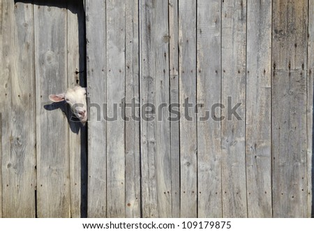 Curious goat peeking through the door of a wooden shed - stock photo